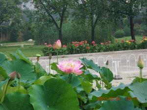北京蓮.JPG