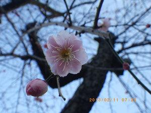 小石原植物園の梅.JPG